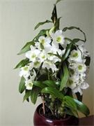Dendrobium pěstování
