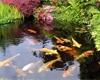 Jaké ryby do jezírka: Koi kapr, karas, nebo jeseter? Vyberte ty nejvhodnější