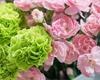 Karafiát – nádherná květina, která doplatila na komunismus. Který pěstovat?