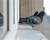 Co pomáhá proti holubům: Vyžeňte nevítané návštěvníky z balkonů a parapetů