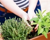 Jak kombinovat bylinky v truhlíku: Které se k sobě hodí a které se nesnesou?
