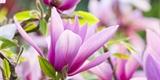 Magnolie: Jakou péči potřebují stromy a keře s překrásnými květy