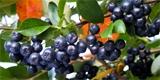 Jeřáb černý: Jak jej pěstovat plus recepty na zpracování plodů