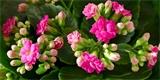 Zkuste to s kalanchoe: Dá se pěstovat jako pokojovka i balkonová rostlina