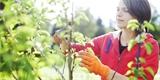 Kdy provádět letní řez jabloní a jak při něm postupovat?