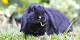 Zakrslý králík je nenáročný a hodí se k dětem. Jak se o něj postarat