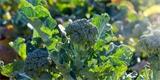 Jak pěstovat brokolici: Nenáročnou zeleninu můžete sklízet od června do listopadu