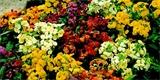 Dvouletky jsou nenáročné rostliny, které ozdobí zahradu dva roky po sobě