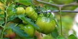 Poslední sklizeň rajčat: I zelené plody můžete zpracovat
