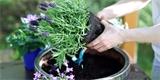 Jak pěstovat levanduli, aby vás odměnila záplavou velkých květů?