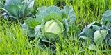 Zelené hnojení: Co to je a jak jej využít pro bohatou úrodu