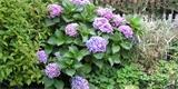 Všechno o pěstování hortenzií. Co řešit na zahradě a co na terase?