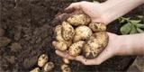Výsadba brambor: Správný postup ovlivní kvalitu a množství úrody