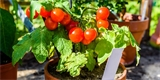 Zásady úspěšného pěstování rajčat na balkoně