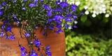 Lobelky – letničky, které za málo péče udělají hodně radosti. Jak je pěstovat?