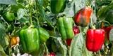 Jak zpracovat rajčata a papriky