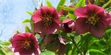 Čemeřice – kráska, která si klidně rozkvete uprostřed zimy. Jak ji pěstovat?