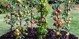 Jak pěstovat sloupovité ovocné stromky
