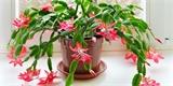 Vánoční rostliny: Které jsou náročné, které se obejdou bez vaší péče?