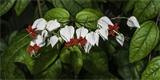 Blahokeř – popínavá liána na zahradu i do bytu. Jak ji pěstovat?