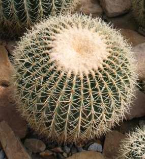 Echinocactus%20grussonii4.jpg