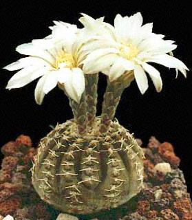 Gymnocalycium-ragonesei.jpg
