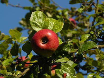 jablko2.jpg