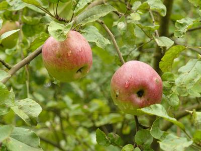 jablko3.jpg