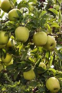 jablko1.jpg