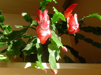 vánoční kaktus1.jpg