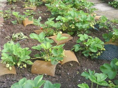 V sadba jahod na p t rok for Fragole piante vendita