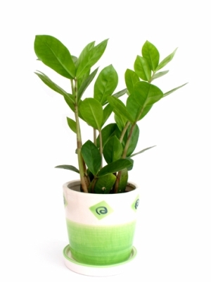 Zamioculcas zamiifolia jak jej p stovat bez obt for Dekorative zimmerpflanzen