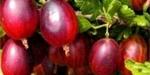 Užitková zahrada | Drobné ovoce | Choroby a škůdci | Ochrana a péče | Ovoce