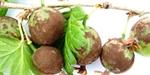 Užitková zahrada | Drobné ovoce | Choroby a škůdci | Ochrana a péče | Výživa a hnojení