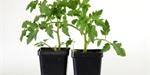 Choroby a škůdci | Ochrana a péče | Výživa a hnojení | Zahradní rostliny | Zelenina