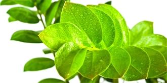 7 věcí, na které musíte dát pozor při pěstování zamiokulkasu