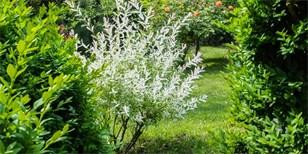 Jak pěstovat japonskou vrbu: Pestrobarevnými listy ozdobí každou zahradu