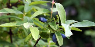 Zimolez kamčatský chutná jak borůvky, je nenáročný na pěstování a plodí již v květnu