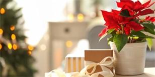 Vánoční květiny: Co potřebují brambořík, azalka a vánoční hvězda
