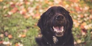 Labernese: Tohle nové psí plemeno si okamžitě zamilujete. Hodí se i k dětem, i s autismem