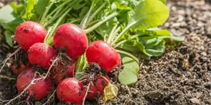 Co na podzim do skleníku? Vsaďte na saláty, ředkvičky a pekingské zelí