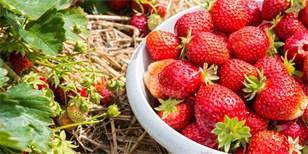 Samosběr jahod: Kde si nasbírat jahody a ušetřit? Přehled míst v celé ČR