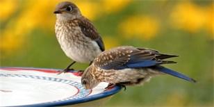 Dejte ptákům napít. Pítka na zahradě zachrání i ježky a další zvířata