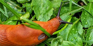 Jak na slimáky bez chemie: Postavte zábrany, sbírejte, využijte bylinky a nasaďte hlístice