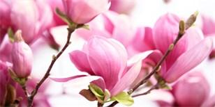 Magnolie namnožíte ze semen: Je to složitější, nikoli však nemožné