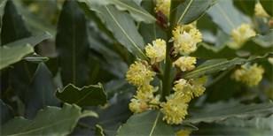 Jak doma pěstovat vavřín, a mít tak vlastní bobkový list